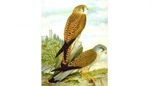 Dos Cernícalos Vulgares (Falco tinnunculus) en dibujo