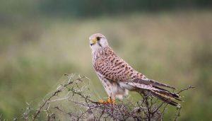 Cernícalo Vulgar (Falco tinnunculus) en su medio natural