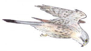Cernícalo Vulgar (Falco tinnunculus) volando en dibujo