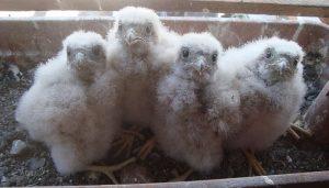 Polluelos del Cernícalo Vulgar (Falco tinnunculus)