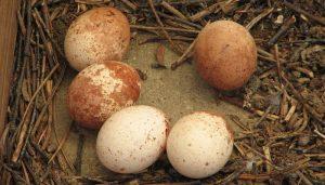 Los huevos del un Cernícalo Vulgar (Falco tinnunculus)
