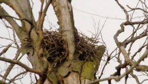Nido del Cernícalo Vulgar (Falco tinnunculus)