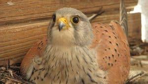 Cernícalo Vulgar (Falco tinnunculus) en su nido