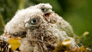 Crías del Cernícalo Vulgar (Falco tinnunculus)