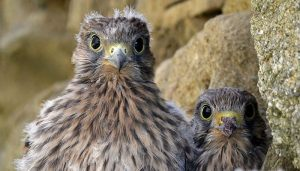 Pichones del Cernícalo Vulgar (Falco tinnunculus)