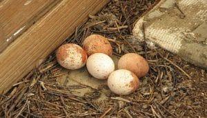 Huevos del Cernícalo Vulgar (Falco tinnunculus)