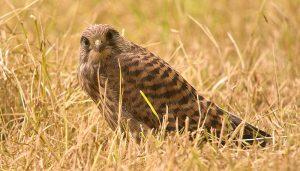 Cernícalo Vulgar (Falco tinnunculus) en el suelo