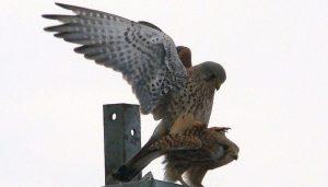 Cernícalos Vulgares (Falco tinnunculus) apareándose