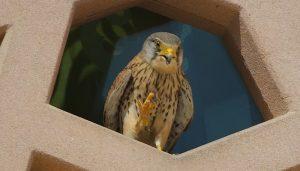 Cernícalo Vulgar (Falco tinnunculus) en una ventana
