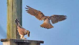 Cernícalo Vulgar (Falco tinnunculus) con un ratón