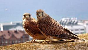Pareja de Cernícalos Vulgares (Falco tinnunculus)
