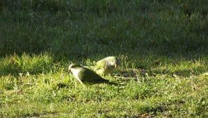 Cotorra monje (Myiopsitta monachus) en el suelo