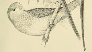 Una Cotorra argentina (Myiopsitta monachus) en dibujo
