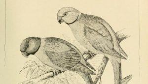 Dos Cotorritas verdigrí (Myiopsitta monachus) en dibujo