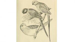 Dibujo de las Cotorras argentinas (Myiopsitta monachus)