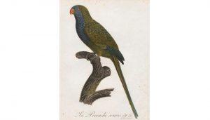 Ilustración de la Cotorra monje (Myiopsitta monachus)