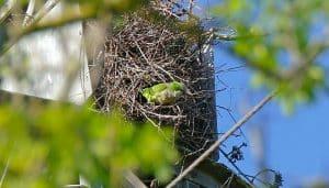 Un nido de una Cotorra monje (Myiopsitta monachus)