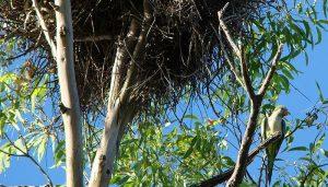 La Cotorra monje (Myiopsitta monachus) en un nido