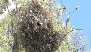 Enorme nido de la Cotorra argentina (Myiopsitta monachus)