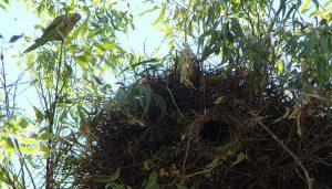El gran nido de la Cotorrita verdigrís (Myiopsitta monachus)