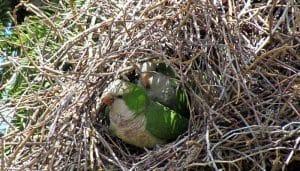 El nido de una Cotorra monje (Myiopsitta monachus)