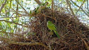 La Cotorra monje (Myiopsitta monachus) y su nido grande