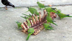 Las Cotorras argentinas (Myiopsitta monachus) comiendo carne