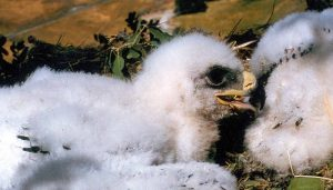 Crías del Águila Caudal (Aquila chrysaetos)