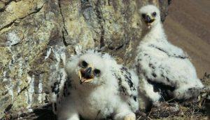 Dos polluelos de Águila Real (Aquila chrysaetos)