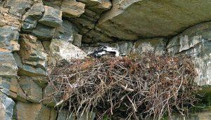 El nido de una Águila Real (Aquila chrysaetos)
