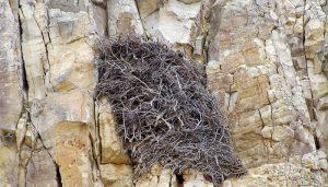El nido del Águila Caudal (Aquila chrysaetos)
