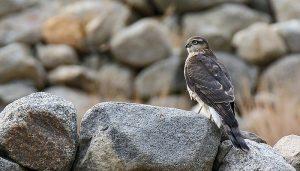 Gavilán Común (Accipiter nisus) posando en una roca