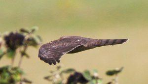 El vuelo de un Gavilán Común (Accipiter nisus)