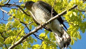 Un Gavilán Común en una rama