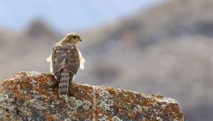 Gavilán Común (Accipiter nisus) en una roca