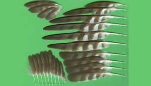 Diferentes tipos de plumas del Gavilán Común (Accipiter nisus)