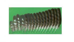 Las plumas de un Gavilán Común (Accipiter nisus)