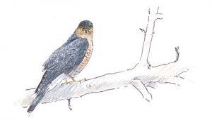 El Gavilán Común (Accipiter nisus) en dibujo