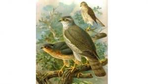 Ilustración del Gavilán Común (Accipiter nisus)