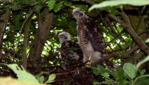 Ejemplares juveniles del Gavilán Común (Accipiter nisus)