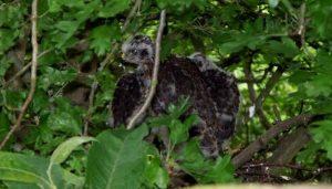 Cría del Accipiter nisus en su nido