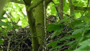Gavilán Común (Accipiter nisus) en su nido