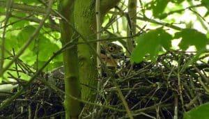 El nido de un Gavilán Común (Accipiter nisus)