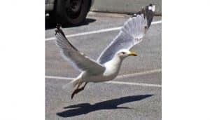 La Gaviota Patiamarilla (Larus Michahellis) levantando vuelo
