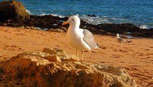 Gaviota Patiamarilla (Larus Michahellis) en la playa