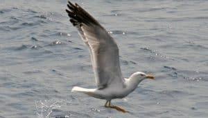 Gaviota Patiamarilla (Larus Michahellis) en pleno vuelo