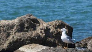 Gaviota Patiamarilla (Larus Michahellis) sobre las rocas