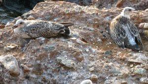 Ejemplares juveniles de la Gaviota Patiamarilla (Larus Michahellis)