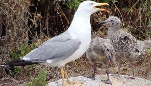 Gaviota Patiamarilla (Larus Michahellis) con dos polluelos