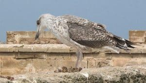 Pequeño polluelo de la Gaviota Patiamarilla (Larus Michahellis)